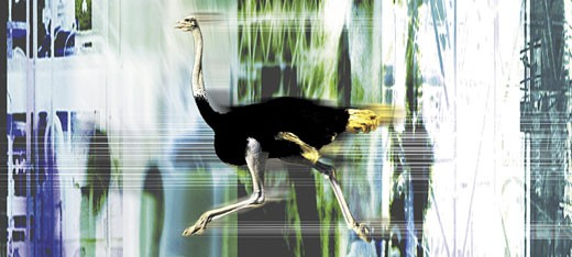 Stock Photo: 1598R-209552 Ostrich running on abstract background
