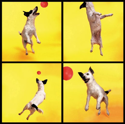 Jack Russell jumping for ball : Stock Photo