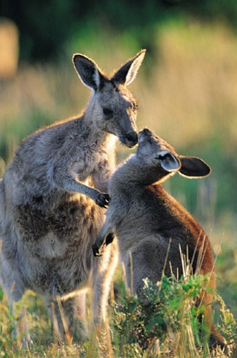 Eastern Grey Kangaroo (Macropus giganteus) Wilsons Promontory National Park, Australia : Stock Photo