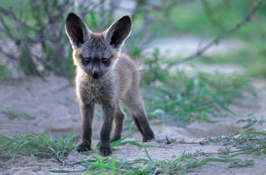 Stock Photo: 1598R-211364 Young Bat-eared Fox (Otocyon megalotis)