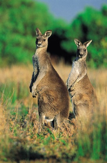 Eastern Grey Kangaroo, Wilsons Promontory National Park, Australia : Stock Photo