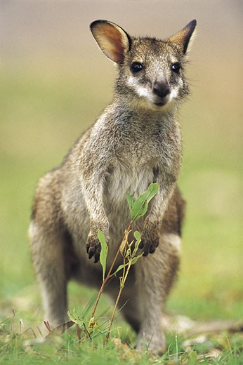 Stock Photo: 1598R-211409 Wallaby (Macropus Agilis) Green Bowling Bay National Park, Queensland, Australia