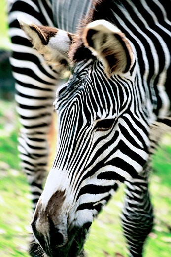 Zebra, close-up, selective focus : Stock Photo