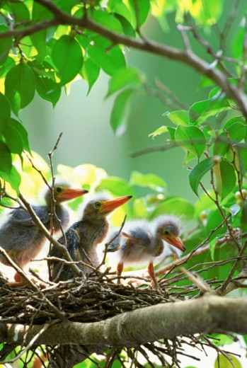 Three Little Green heron chicks in nest, close-up, selective focus : Stock Photo