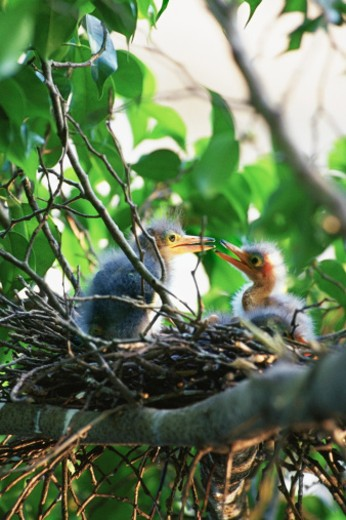 Two Little Green heron chicks in nest, close-up : Stock Photo