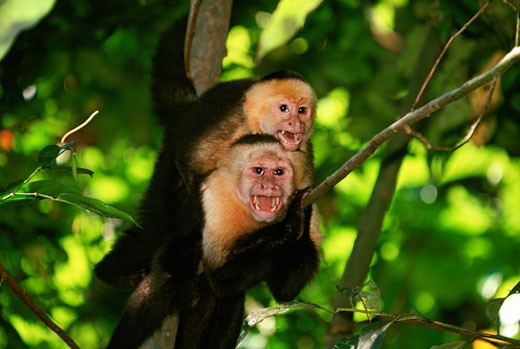 Two White-faced Capucin Monkeys in Costa Rica : Stock Photo