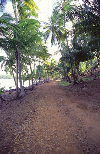 Stock Photo: 1598R-212398 Palm trees along dirt road, Devils Island, French Guyana