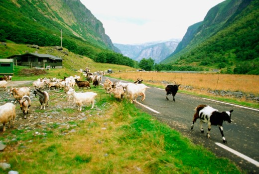 Stock Photo: 1598R-212429 Group of goats grazing on the roadside, Voss County, Norway