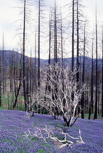 Lupines in a field, Yosemite National Park, Mariposa County, California, USA : Stock Photo