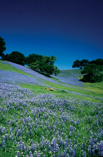 Stock Photo: 1598R-212815 High angle view of a lupine field, Sonoma, California, USA