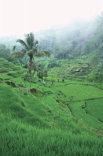 Stock Photo: 1598R-212937 High angle view of terraced rice fields, Bali, Indonesia