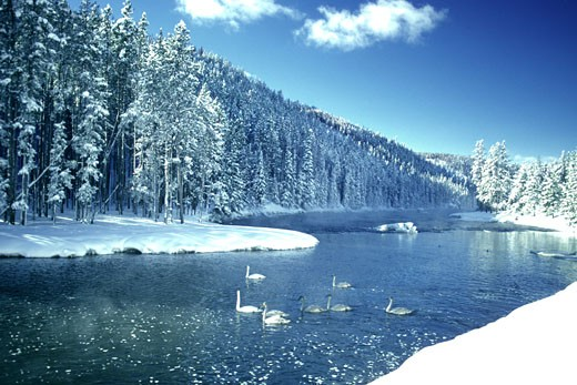 Stock Photo: 1598R-213085 Geese on river in winter, Yellowstone National Park, Wyoming, USA