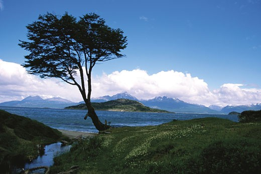 Tree on waterfront, Bahai Lapataia National Park, Ushuaia, Argentina : Stock Photo
