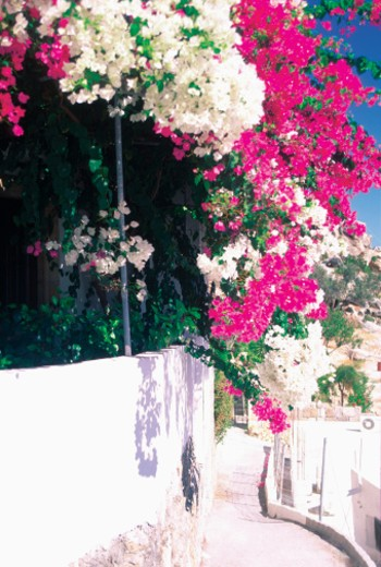 Stock Photo: 1598R-213368 Bougainvillea growing on a wall, Lindos, Rhodes, Greece