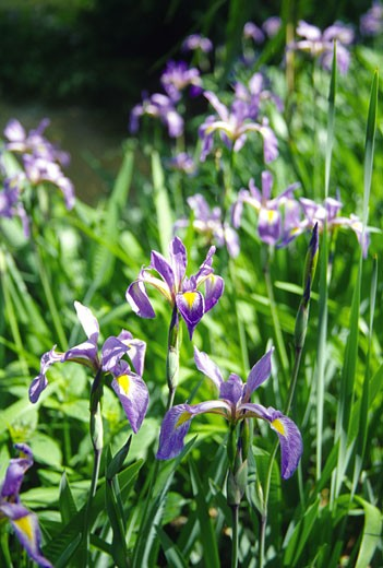 Close-up of Iris flowers in a garden, Boone Hall Plantation, South Carolina, USA : Stock Photo