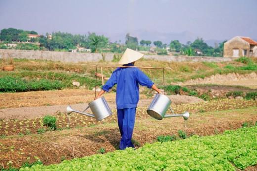 Vietnam, Farmer farming his field : Stock Photo
