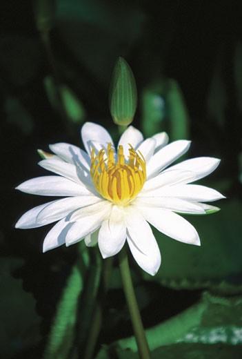 Close-up of a Nymphaea Water Lily, Viti Levu Island, Nadi, Fiji : Stock Photo