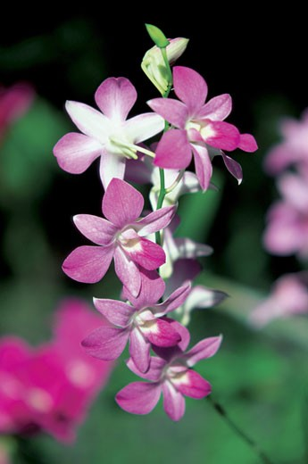 Stock Photo: 1598R-213587 Close-up of Orchid flowers, Garden of the Sleeping Giant, Viti Levu Island, Nadi, Fiji