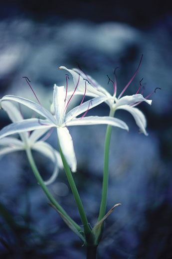 Close-up of Cape Lilies, South Africa : Stock Photo