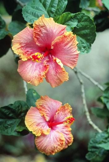 Close-up of two Hibiscus, Waimea Falls Park, Oahu, Hawaii, USA : Stock Photo