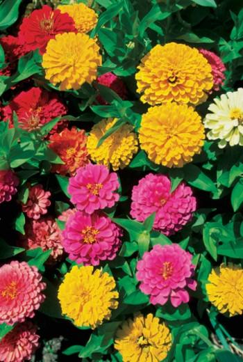 Stock Photo: 1598R-213759 Close-up of Zinnias flowers, Georgia, USA