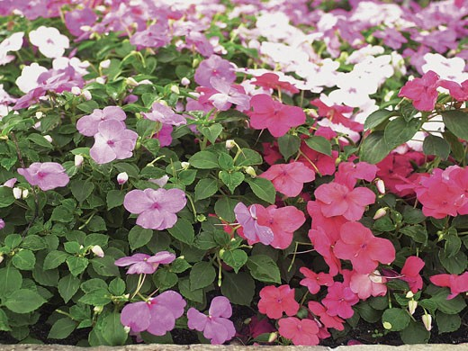 Pink and purple Impatiens : Stock Photo