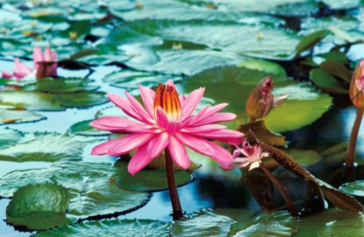Nymphaea, pink water lily and lily pads in water : Stock Photo