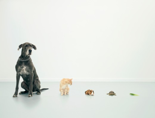 Great Dane, cat, guinea pig, tortoise and lettuce leaf in line : Stock Photo