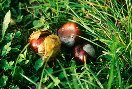 Horse chestnuts in long grass, close-up : Stock Photo