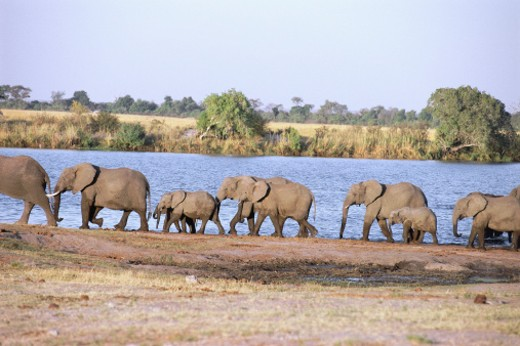 Herd of elephants (Loxodonta africana) walking along shore : Stock Photo