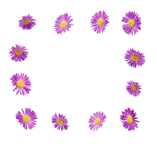 Purple Daisy Chrysanthemums : Stock Photo