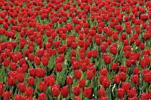 Field of Tulips : Stock Photo