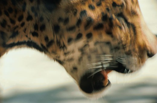 Close-up of a Cheetah in Motion : Stock Photo