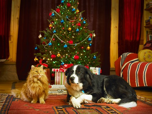 Cat and dog sitting by Christmas tree in living room : Stock Photo