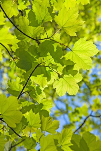 Fresh spring sycamore (Acer pseudoplatanus) leaves against a clear blue sky, low angle view : Stock Photo