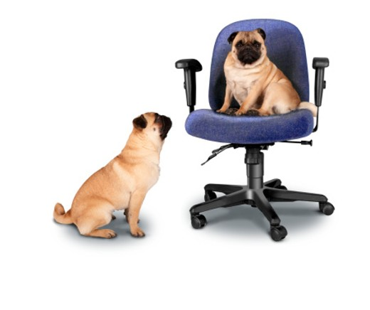 Stock Photo: 1598R-242391 Two French bulldogs, one sitting on office chair, studio shot