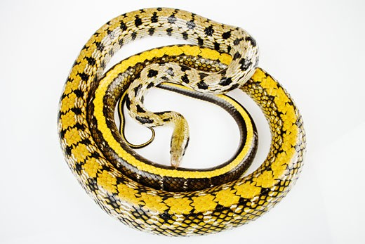 Taiwanese beauty rat snake (Elaphe taeniura friesi) coiled on white background : Stock Photo