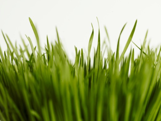 Wheatgrass and white background, close-up (differential focus) : Stock Photo