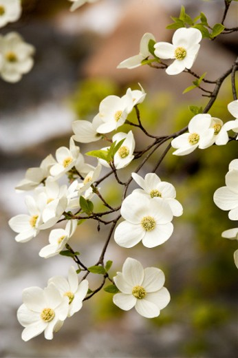 Stock Photo: 1598R-245917 Blossom on dogwood tree, close-up