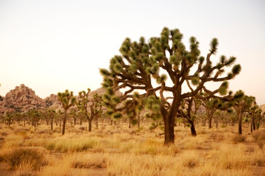 Stock Photo: 1598R-247012 USA, California, Palm Springs, Joshua Tree National Forest