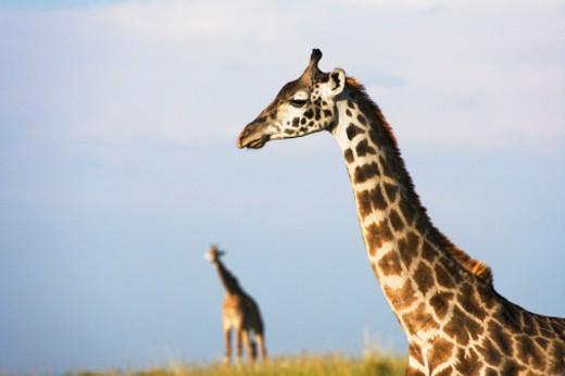 Kenya, Masai Mara : Stock Photo