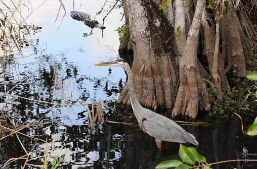 Stock Photo: 1598R-248118 Great blue heron, Ardea herodias, stalks a fish as an alligator, Alligator mississippiensis, stalks the stalker. Everglades National Park, Florida, USA. UNESCO World Heritage Site (Biosphere Reserve).