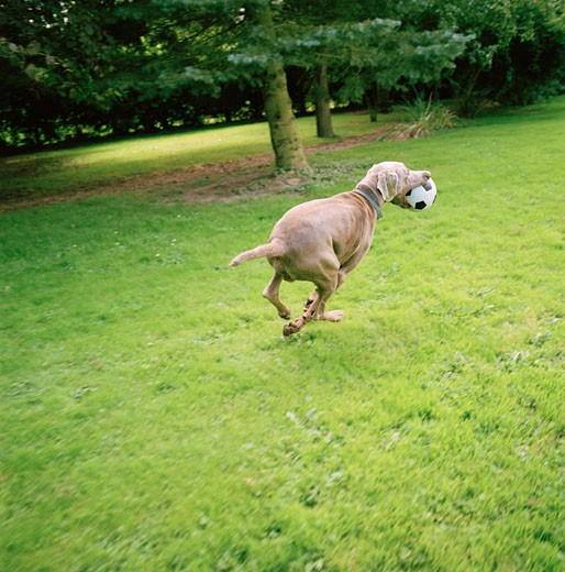 Stock Photo: 1598R-250668 Dog Running with Ball