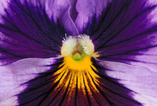 Stock Photo: 1598R-255814 Pansy Stamen