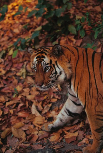 Tiger Walking on Dead Leaves : Stock Photo