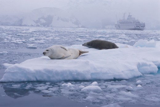 Stock Photo: 1598R-256538 Crabeater Seals on Ice