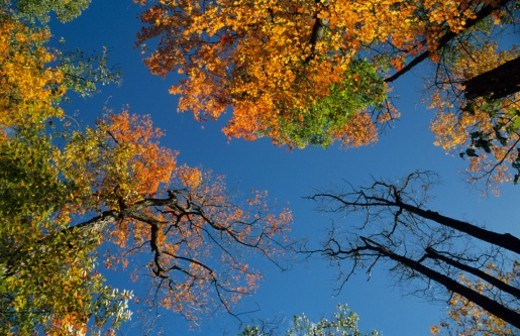 Sugar maple trees, fall, Canada, view from below : Stock Photo