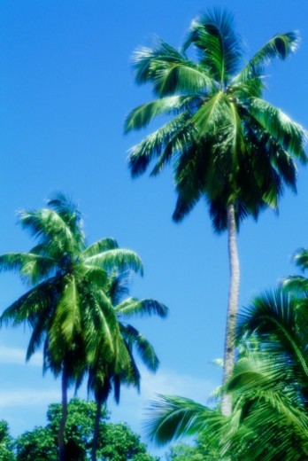 Palm trees, low angle view : Stock Photo
