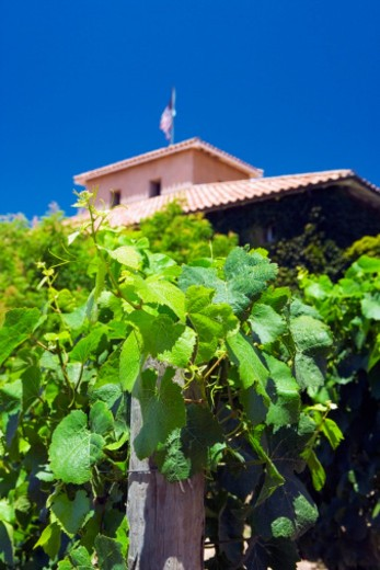 Close-up of grape vines in front of a winery, Napa Valley, California, USA : Stock Photo