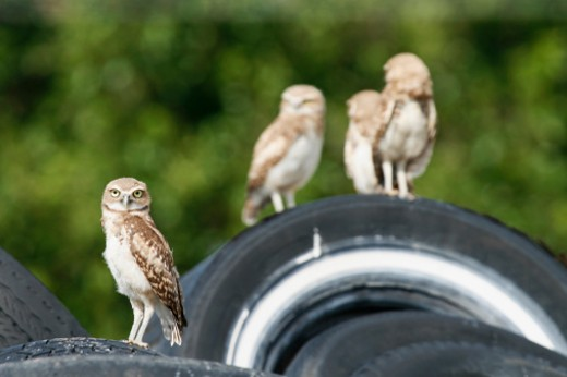 A small group of burrowing owls. Focus is on the young owl in front. Taken in New Mexico, USA. : Stock Photo